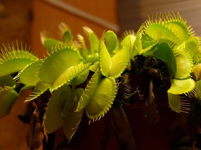 an overview of the rosette plant venus flytrap Venus fly trap adaptation venus flytrap plant has the fly traps in house the venus fly trap plant can be grown of an adult venus fly trap rosette.